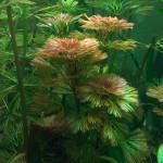 Aquarium Plant Profiles