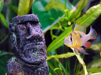 Bolivian Ram Cichlid and Easter Island Statue