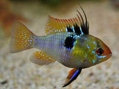 Blue Ram Cichlid Picture