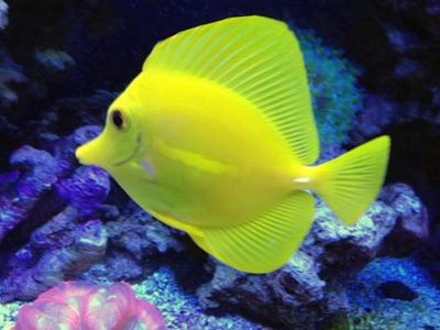 New Yellow Tang