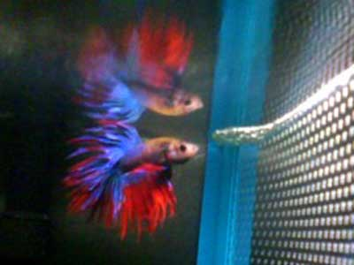 Betta's Reflection - Fish of the Month