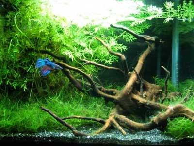 Malysian wood and moss 5 gallon betta tank