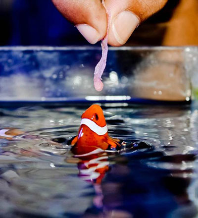 Percula Clown leaping out of water to feed
