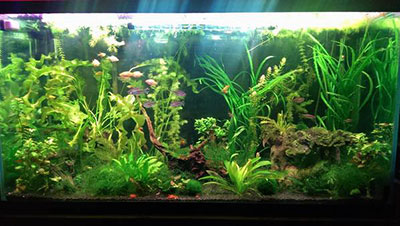 100 gallon Community Fish Tank