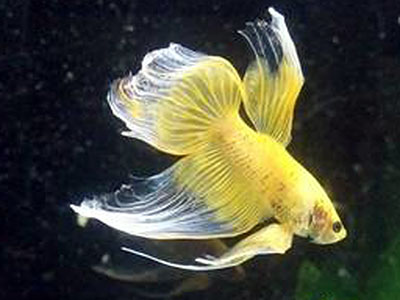 Yellow Betta