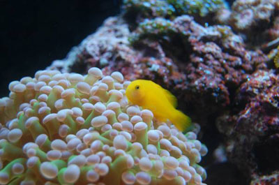clown goby and frogspawn