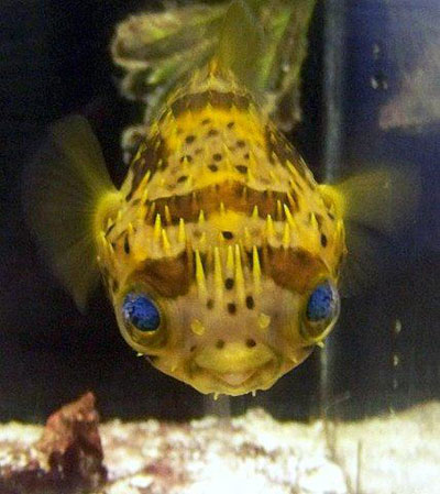 freshwater puffer fish. Pufferfish