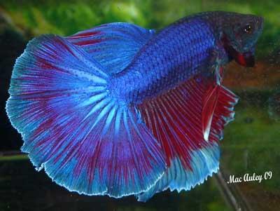 Multi Color halfmoon male betta