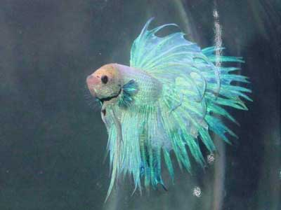 Esteban the Betta