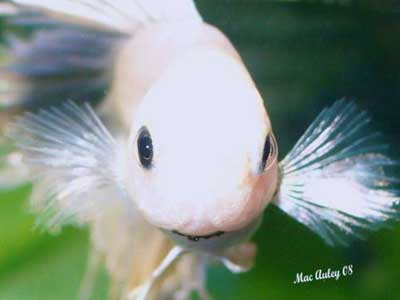 betta fish face
