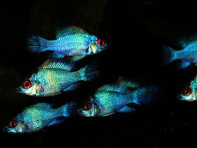 Red Eyed Fish