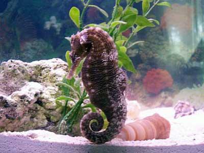 Male Seahorse