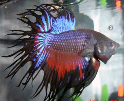 double-ray combtail betta