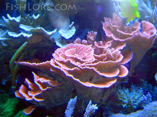 red montipora coral