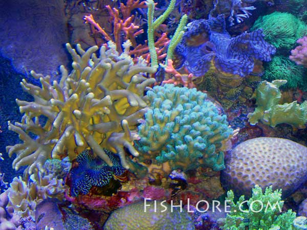 coral and tridacna clams