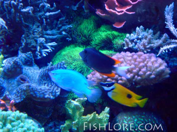 Keeping coral in a saltwater reef tank aquarium for How to saltwater fish