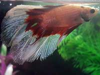 Ich Fish Disease