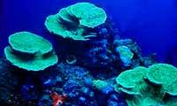 Montipora Coral 2 Under Nova Extreme T5