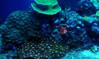 Montipora Coral Under Nova Extreme T5