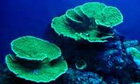 Montipora Coral 3 Under Nova Extreme T5