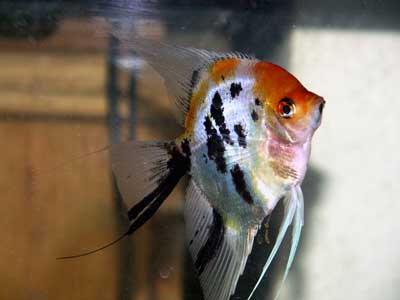 Gunnie's Angelfish Tank Picture