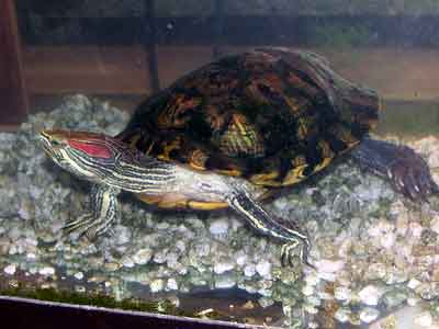 Gunnie's Turtle Tank Picture
