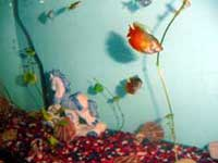 Phanie's Aquarium Photo - Gourami