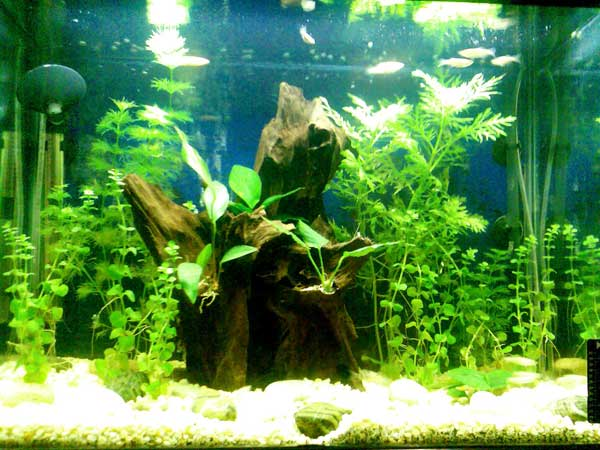 Tropical fish tanks page 8 for Growing plants with fish