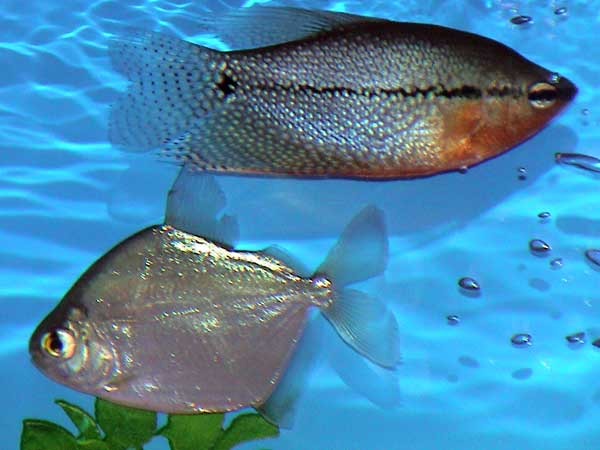 Aquarium fish with names aquarium fish names fish that for Freshwater aquarium fish list