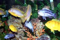 Melanochromis, Labidochromis, Labeotropheus, and Pseudotropheus