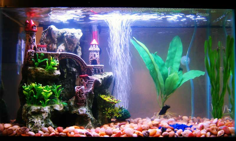 Freshwater angelfish tank setup for Koi fish tank setup