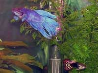 Betta and Guppy