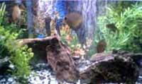Renae's Discus Fish Tank