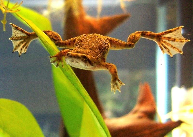 Image result for African dwarf frog