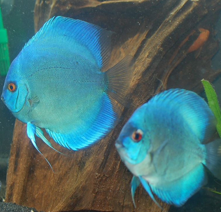 Blue Diamond Discus Pair.jpg