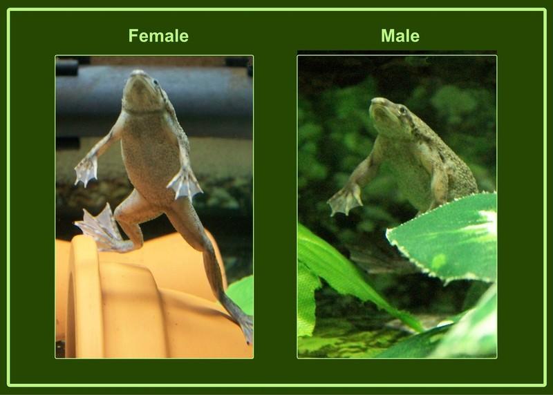 Feeding Adfs Is My Frog Overfed Question Amphibians 110744