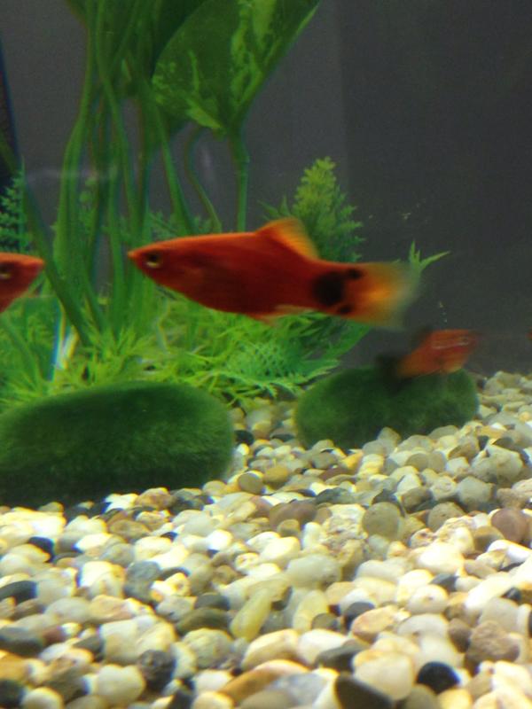 Fish aquarium white spots -  Imageuploadedbyfish Lore Aquarium Fish Forum1398539297 538338 Jpg