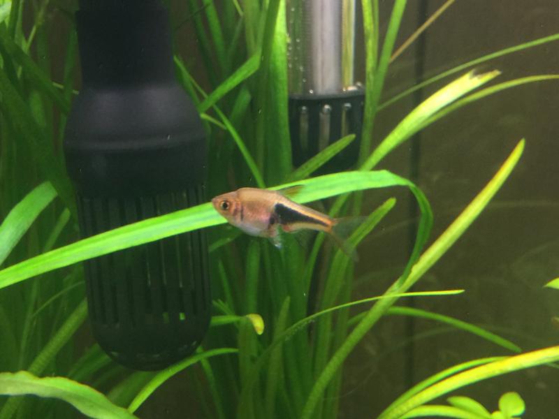 Freshwater aquarium fish rasbora - Imageuploadedbyfish Lore Aquarium Fish Forum1431357809 686707 Jpg Imageuploadedbyfish