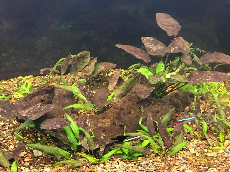 Freshwater aquarium fish help - Herbaquarist Initiate Member