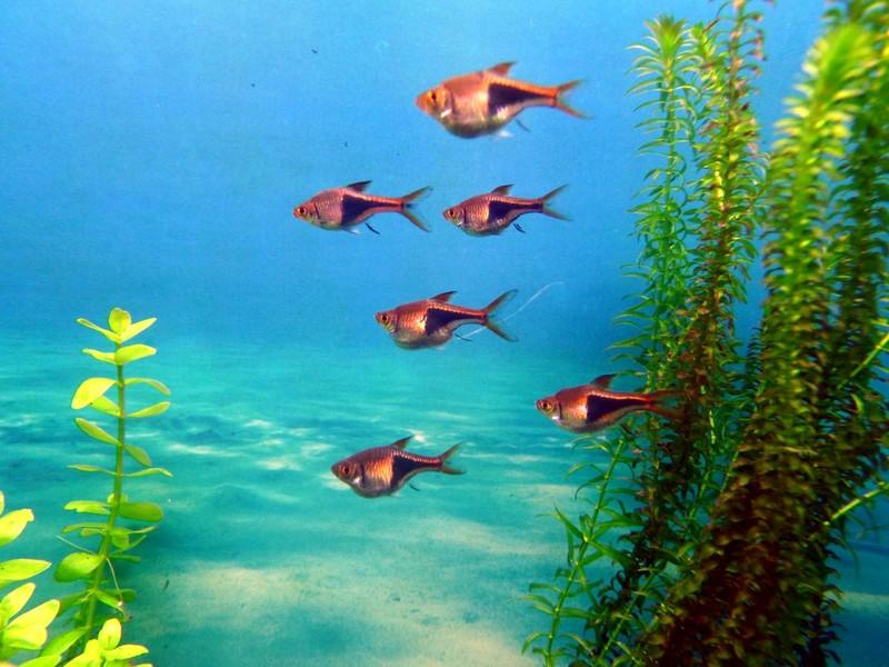 Freshwater aquarium fish rasbora - Rasbora2 Jpg