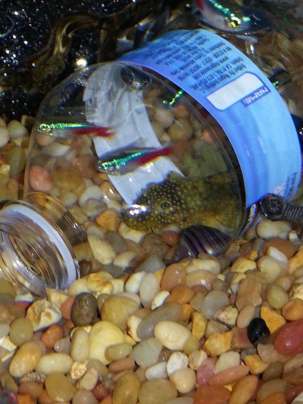 Freshwater aquarium fish eat snails -  Trap For Snails Jpg