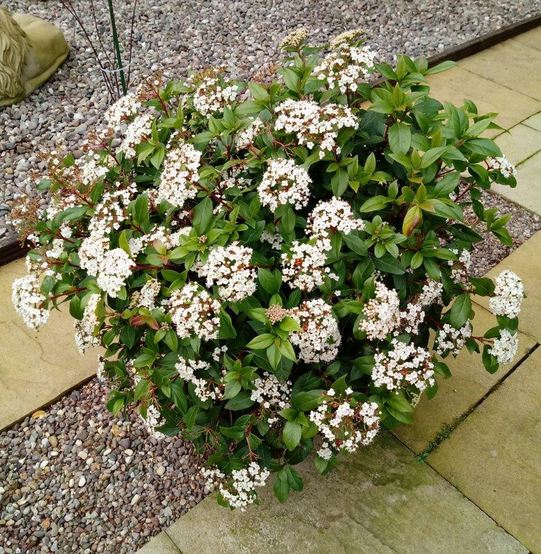 Viburnum tinus  7-3-20.jpg