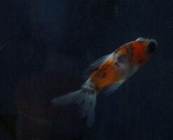 new-goldfish-1.jpg