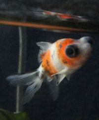 new-goldfish-2.jpg
