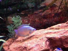 ImageUploadedByFish Lore Aquarium Fish Forum1405013203.401109.jpg