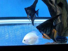 ImageUploadedByFish Lore Aquarium Fish Forum1409598666.483188.jpg