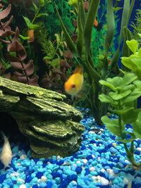ImageUploadedByFish Lore Aquarium Fish Forum1416027039.080269.jpg