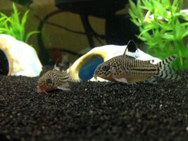 ImageUploadedByFish Lore Aquarium Fish Forum1421552210.814279.jpg