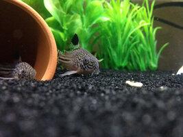 ImageUploadedByFish Lore Aquarium Fish Forum1421552283.450459.jpg