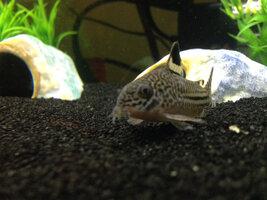 ImageUploadedByFish Lore Aquarium Fish Forum1421552379.167850.jpg